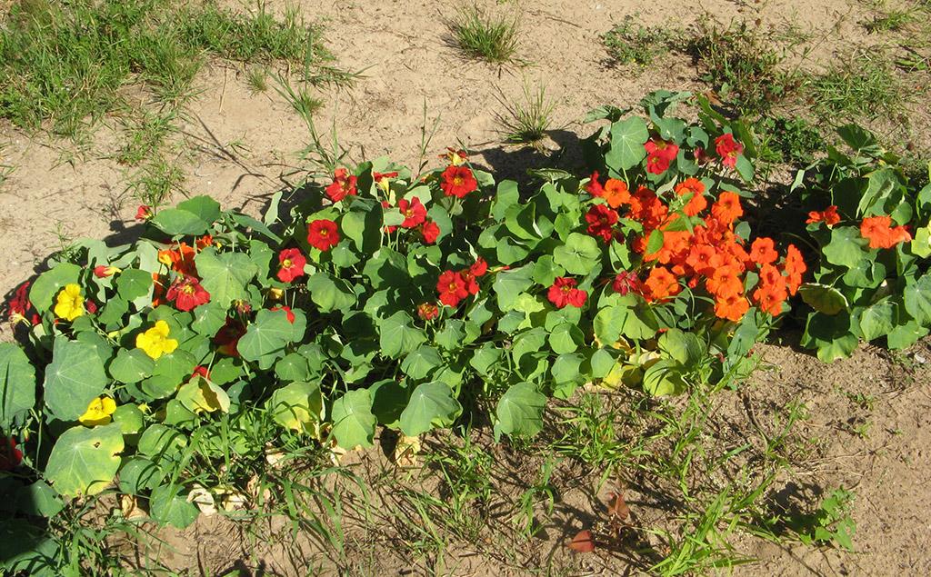 Настурция выращивание из семян в домашних 29