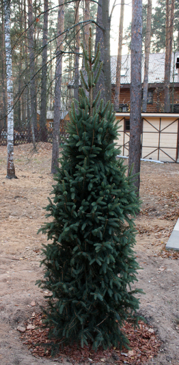 Picea_abies_Columnaris