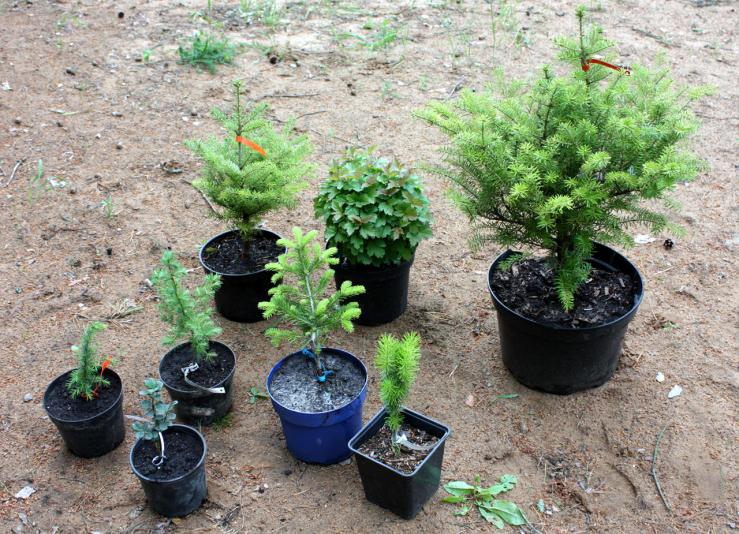 растения из питомника Александра Верещака