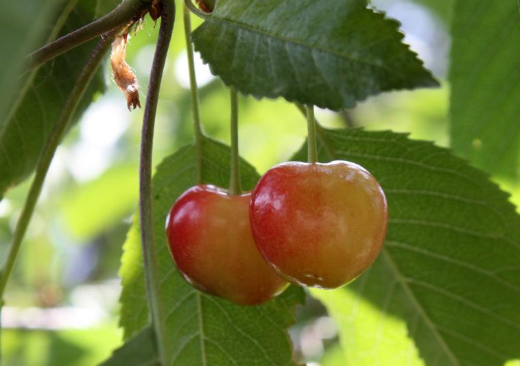 Черешня Ипуть (Prunus avium)