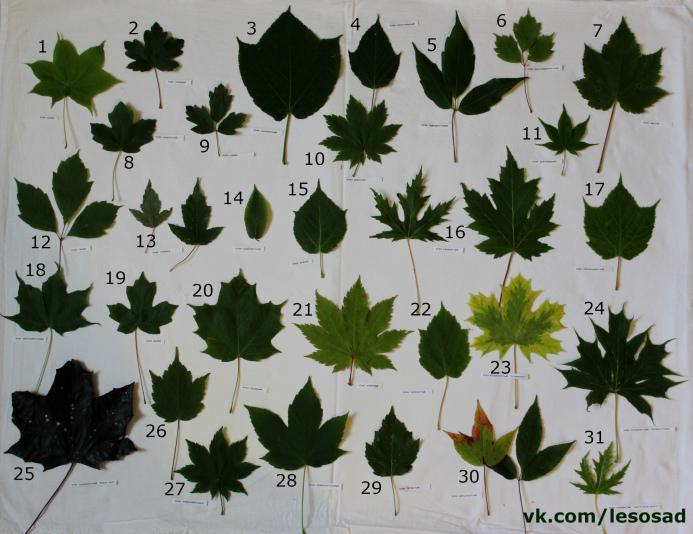 Коллекция листьев кленов