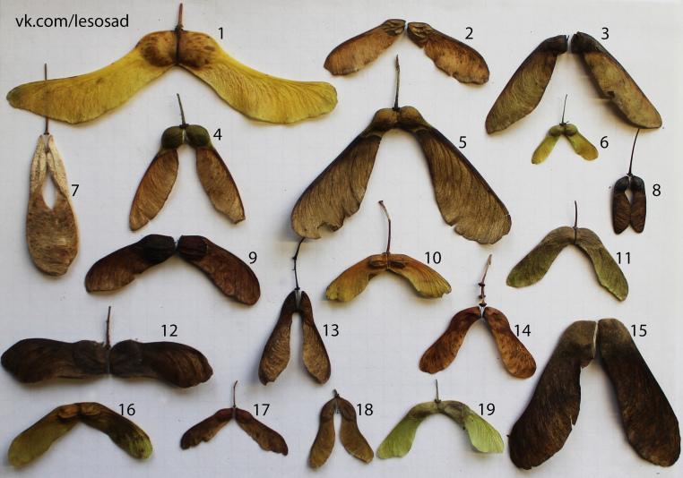 Коллекция семян кленов