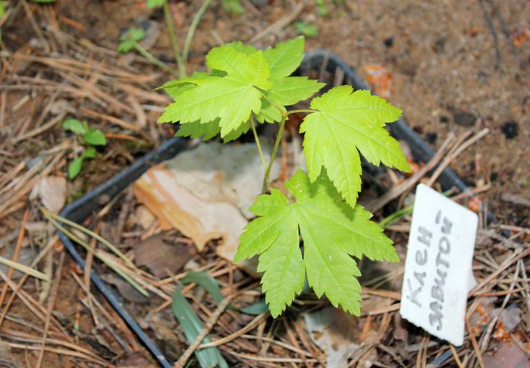 Клен завитой (Acer circinatum)