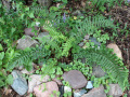 Щитовник родственный Cristata The King (Dryopteris affinis Cristata The King)
