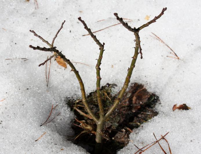 Ива Бойда (Salix Boydii)