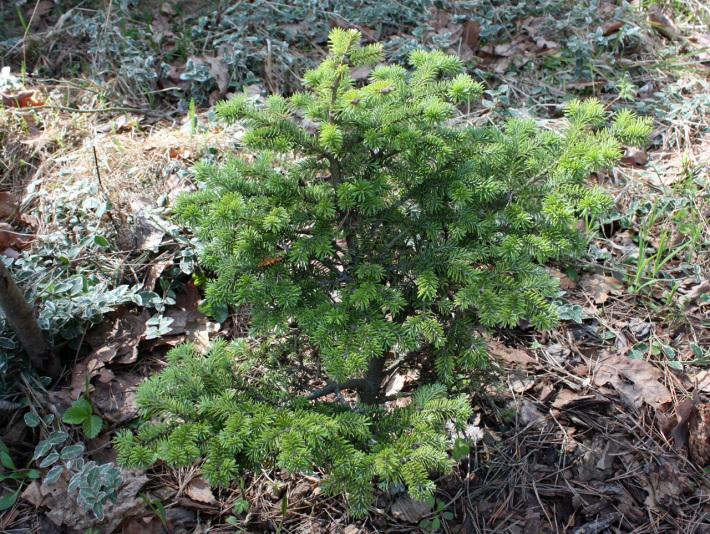 Пихта бальзамическая Bear Swamp (Abies balsamea Bear Swamp)
