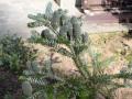Пихта корейская Silberlocke (Abies koreana Silberlocke)