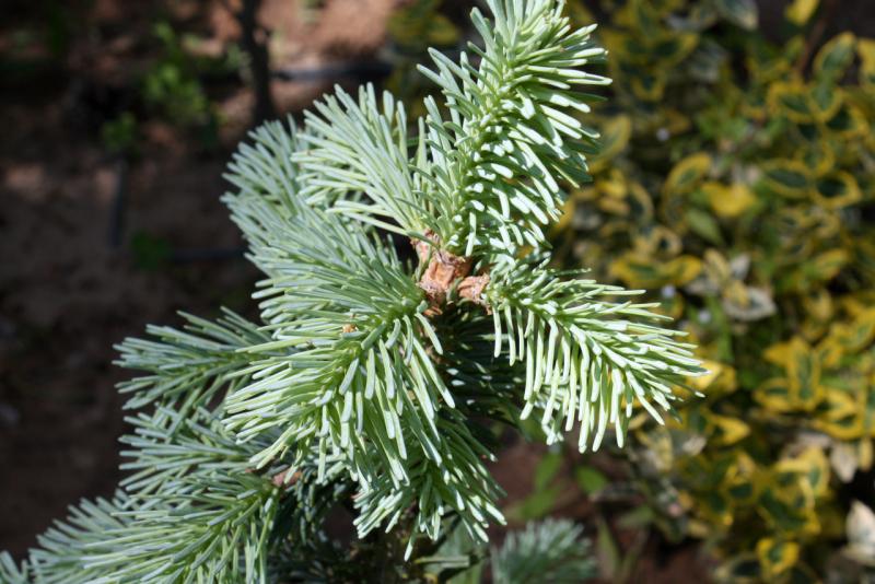 Пихта субальпийская Компакта (Abies lasiocarpa Compacta)
