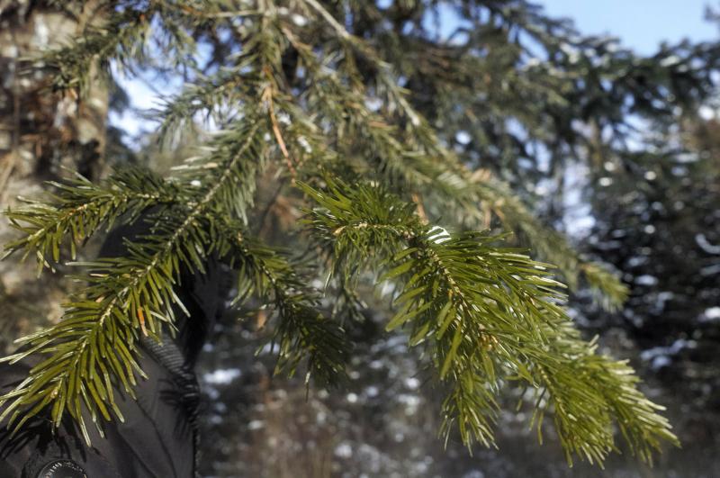 Пихта сибирская (Abies sibirica)