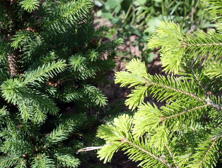 Пихта сибирская Macroconica (Abies sibirica Macroconica)