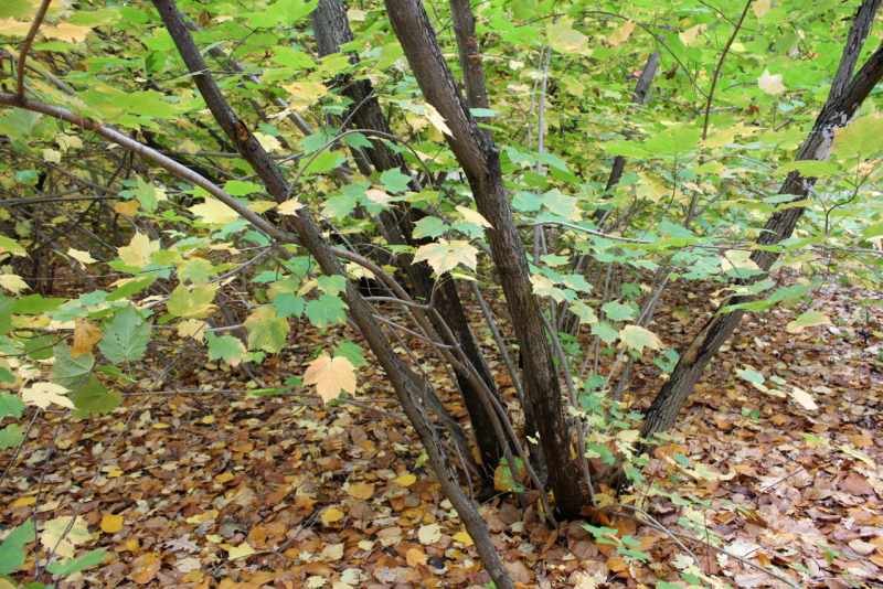 Клен бородатый (Acer barbinerve)