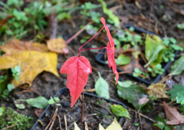 Клен Гиннала или приречный (Acer ginnala)