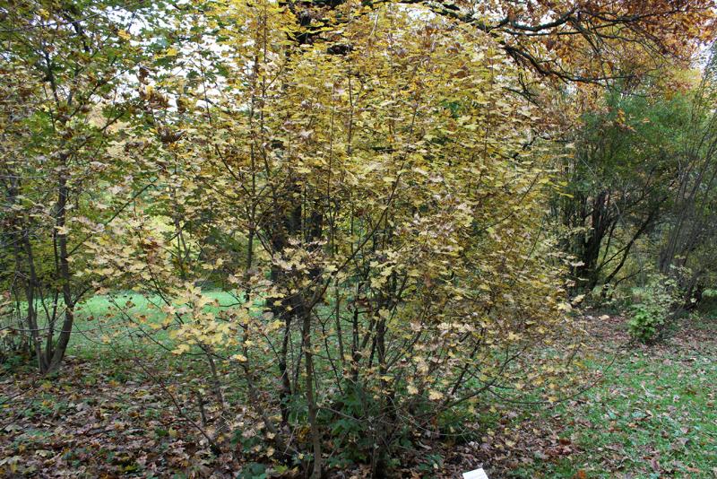 Клен грузинский (Acer ibericum)