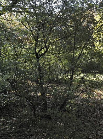 Клен трехлопастной, французский (Acer monspessulanum)