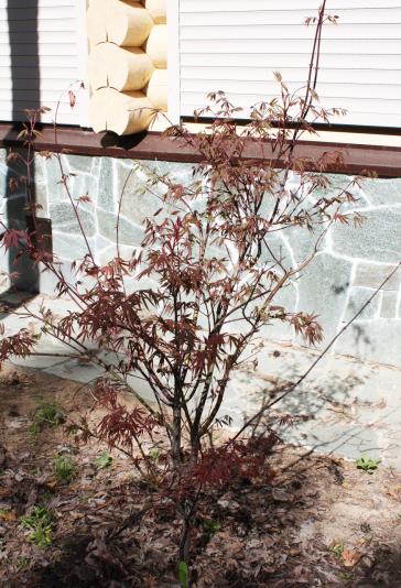 Клен веерный Atropurpureum (Acer palmatum Atropurpureum)