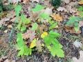 Клён ложноплатановый (Acer pseudoplatanus)