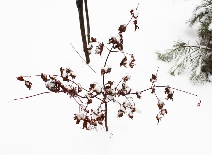 Клён ложнозибольдов (Acer pseudosieboldianum)