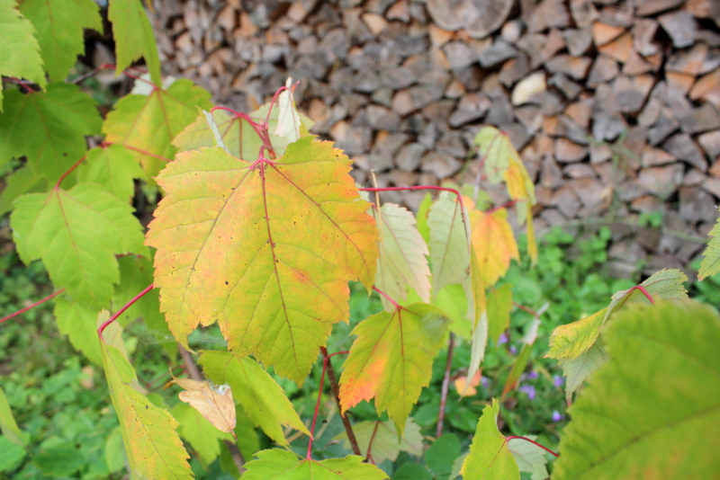 Клен красный (Acer rubrum)