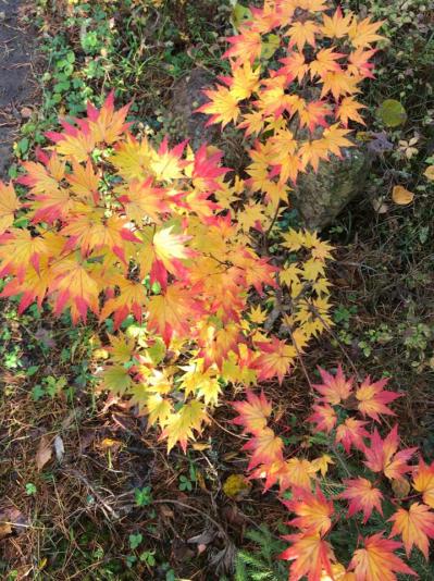 Клен Ширасавы (Acer shirasawanum)