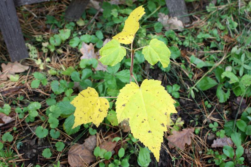 Клен зеленокорый (Acer tegmentosum)