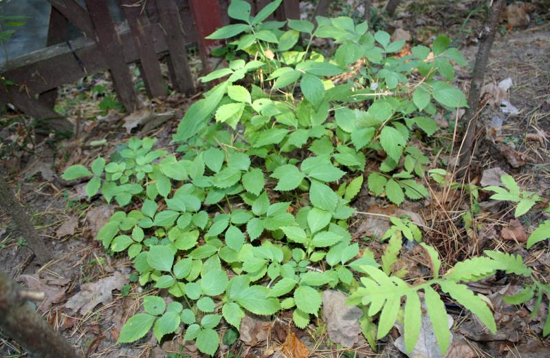 Воронец колосовидный черный или Актея колосовидная (Actaea spicata)