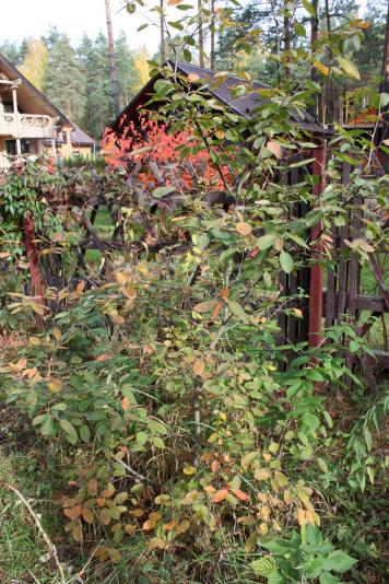 Ирга канадская (Amelanchier canadensis)