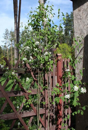 Ирга колосистая (Amelanchier spicata)