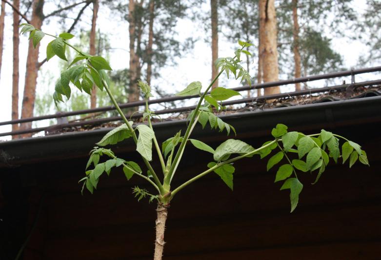 Аралия манчжурская (Aralia mandshurica)