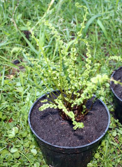 Кочедыжник женский Фризели (Athyrium filix-femina Frizelliae)