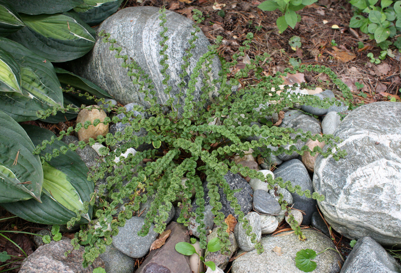 Кочедыжник женский Frizelliae (Athyrium filix-femina Frizelliae)