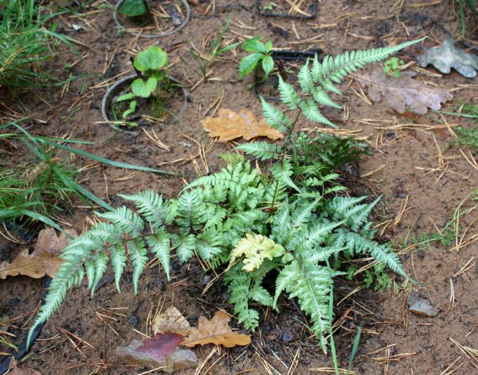 Кочедыжник ниппонский Пиктум (Athyrium niponicum Pictum)