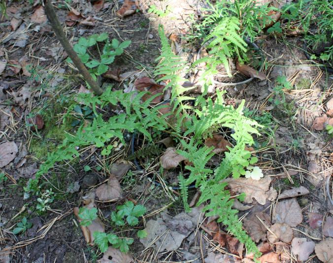 Кочедыжник женский Victoriae (Athyrium filix-femma Victoriae)