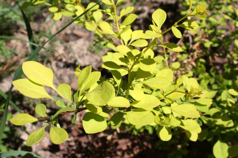 Барбарис тунберга Aurea (Berberis thunbergii Aurea)