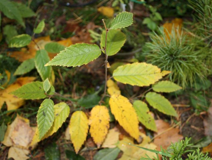 Береза желтая (Betula alleghaniensis)