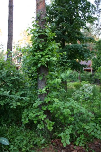 Древогубец круглолистный (Celastrus orbiculata)