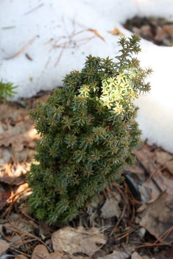 Кипарисовик туевидный Red Star/Rubicon (Chamaecyparis thyoides Rubicon)