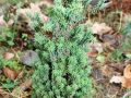 Кипарисовик туевидный Red Star/Rubicon (Chamaecyparis thyoides Rubicon)