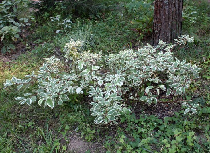Дерен белый Сибирика Вариегата (Cornus alba Sibirica Variegata)