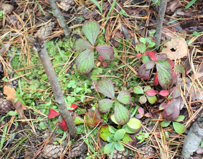 Дерен канадский (Cornus canadensis)