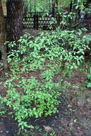 Дёрен красный или свидина кроваво-красная (Сornus sanguinea)