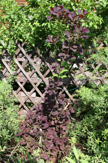 Скумпия кожевенная Royal Purple (Cotinus coggygria Royal Purple)