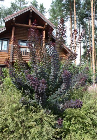 Скумпия кожевенная Royal Purple (Cotinus coggygria Royal Purple)