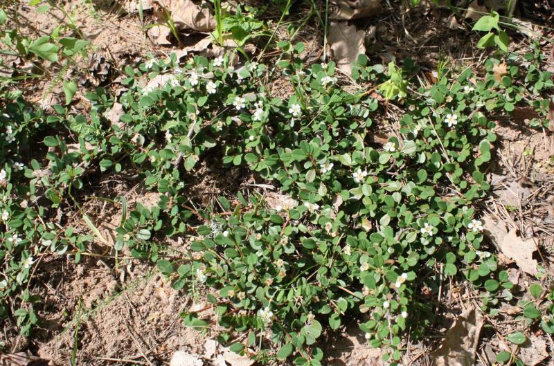Кизильник горизонтальный (Cotoneaster horizontalis)