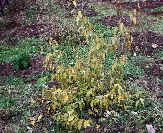 Лох многоцветковый (Elaeagnus multiflora)