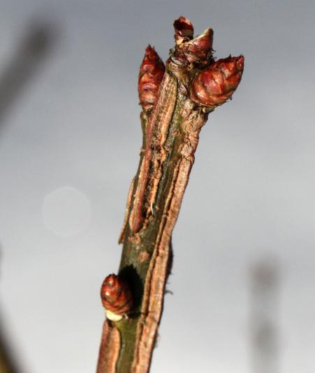 Бересклет крылатый Компактус (Euonomus alatus Compactus)