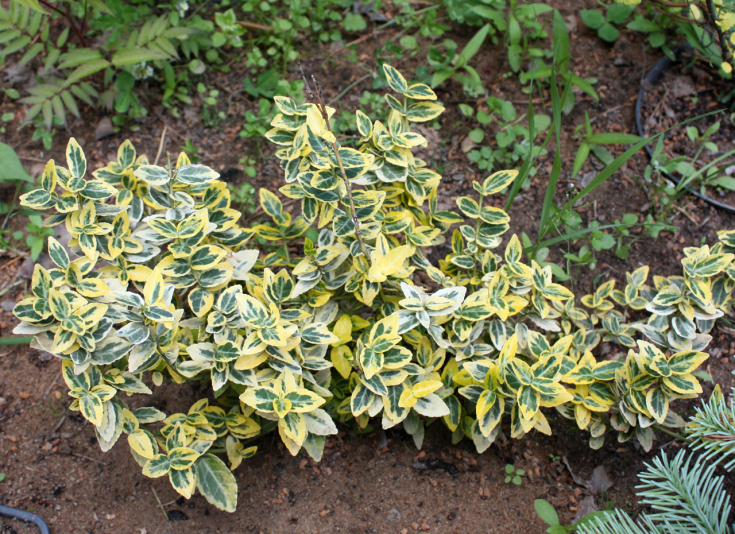 Бересклет Форчуна Emerald and Gold (Euonymus fortunei Emerald and Gold)