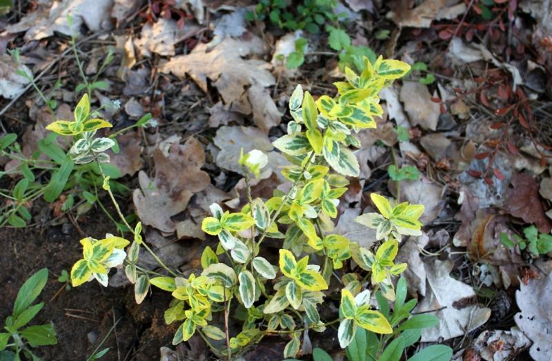 Бересклет Форчуна Emerald and Gold (Euonymus fortunei Emerald and Gold)