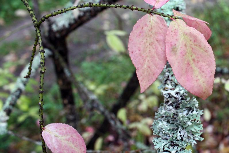Бересклет бородавчатый (Еuonymus verrucosa)