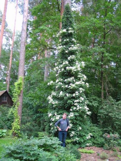 Гортензия черешковая (Hydrangea petiolaris)