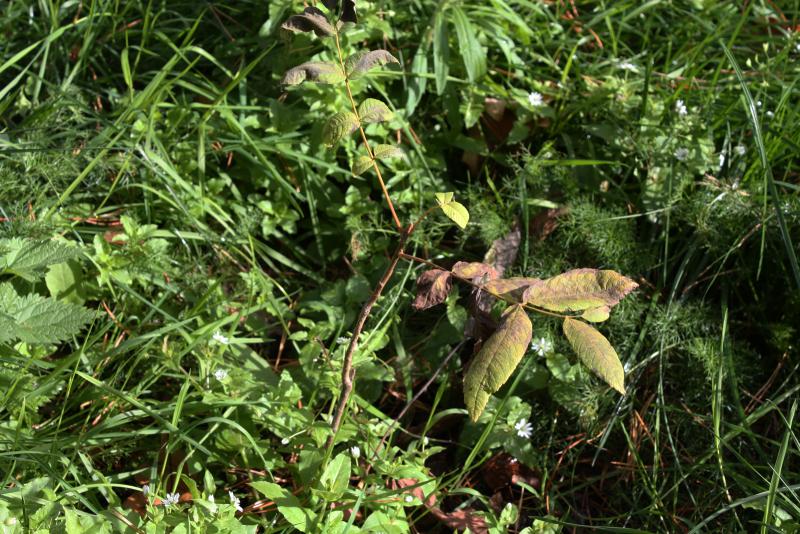 Ланкастерский орех (Juglans cordiformis x cinerea)